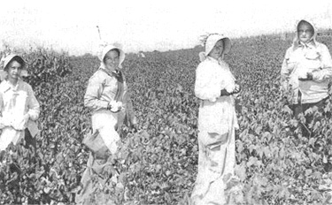 Picking cotton in Crossville in the 1920's. Frankie Peppers, Mae Belle Atchley, Christa Belle Frasier, Pearl Hester Acker.
