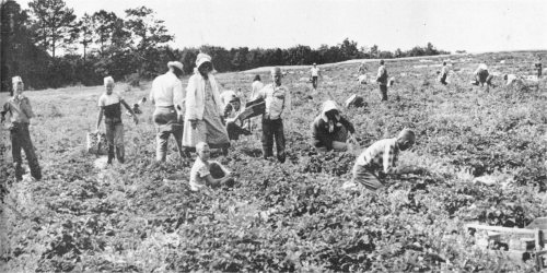 Strawberry pickers at Hershell and Sherman Crye's Henagar farm about 1960.